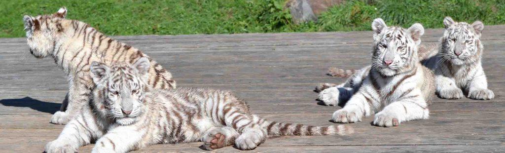 junge weiße Tiger im Tierpark